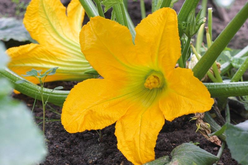 Beignets blog des coccinelles de sans souci - Fleur de courgette male ...